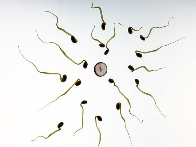 卵子に近づく精子